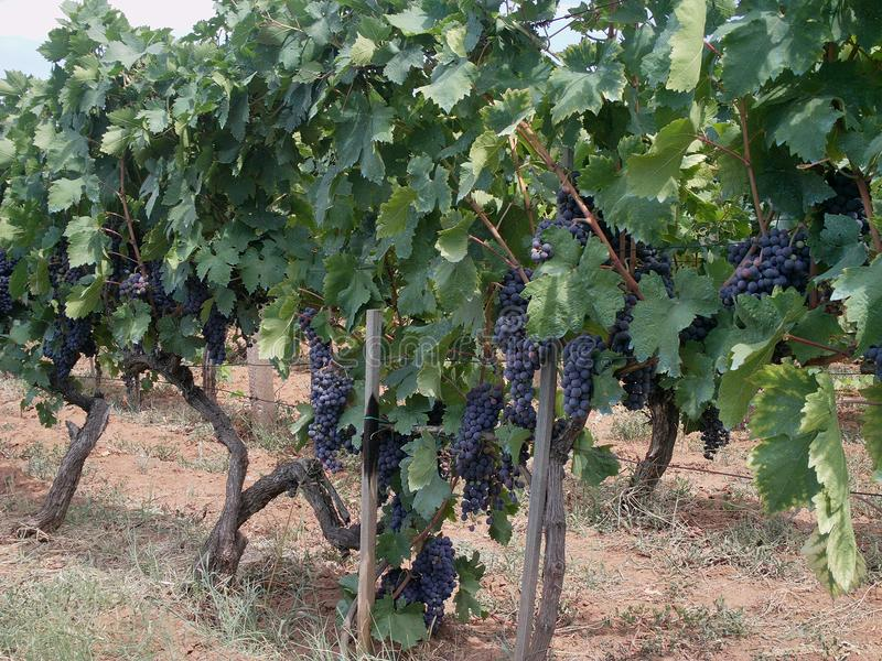 europa kroatien wineyard der roten Rebe Sommer 2011 lizenzfreie stockbilder