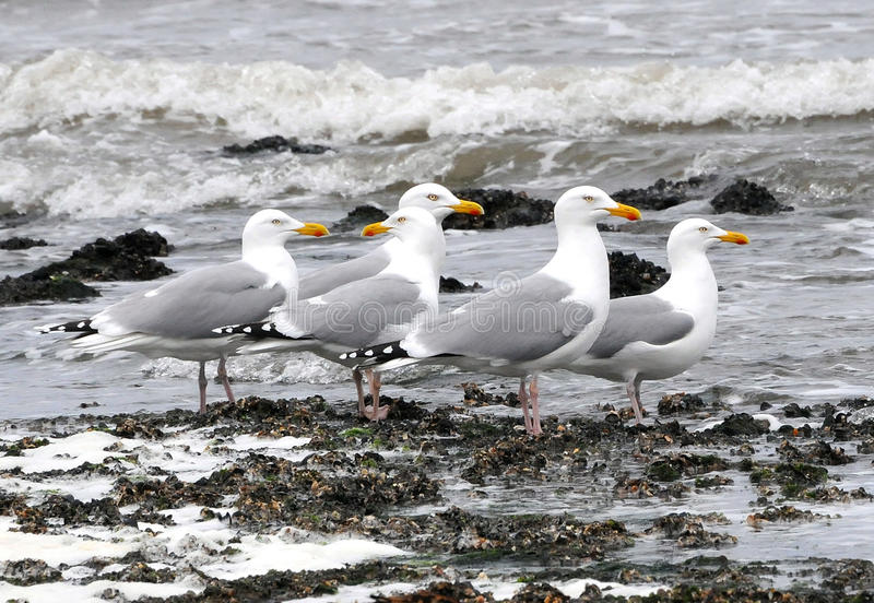 Europa, Zeemeeuwen bij strandvoorzijde royalty-vrije stock afbeeldingen