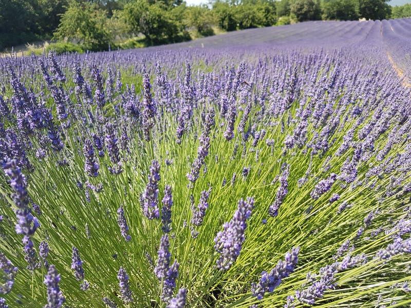europa Zuiden van Frankrijk De Provence Vouclusegebied Typische rand: cultuur van lavendel stock foto's