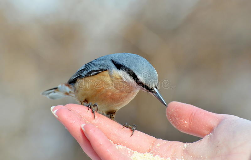 europaea五子雀类 免版税库存图片