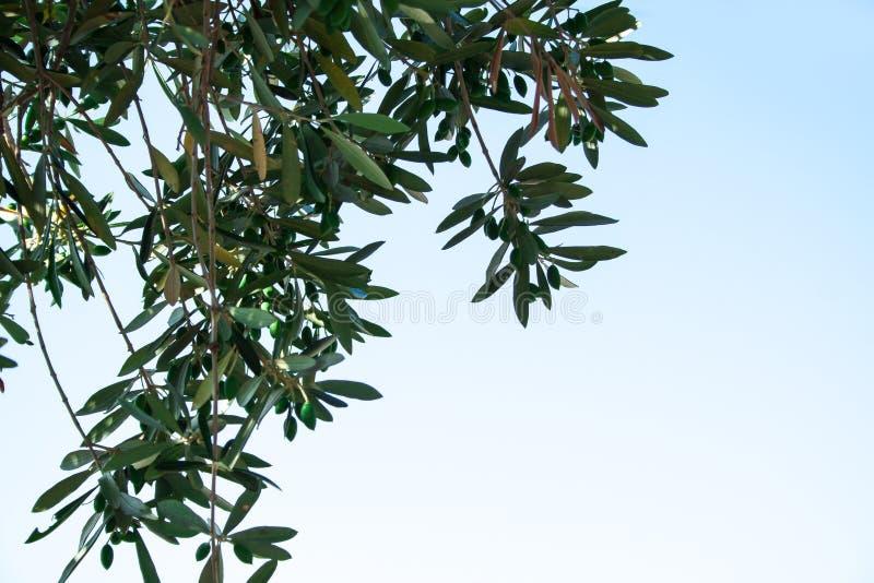 Europaea del Olea foto de archivo libre de regalías