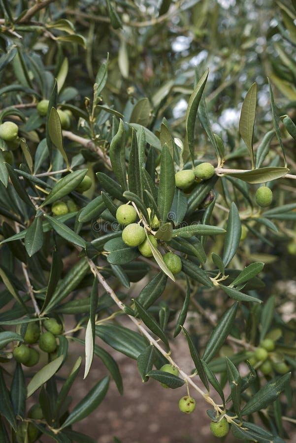Europaea del Olea con las aceitunas verdes foto de archivo libre de regalías