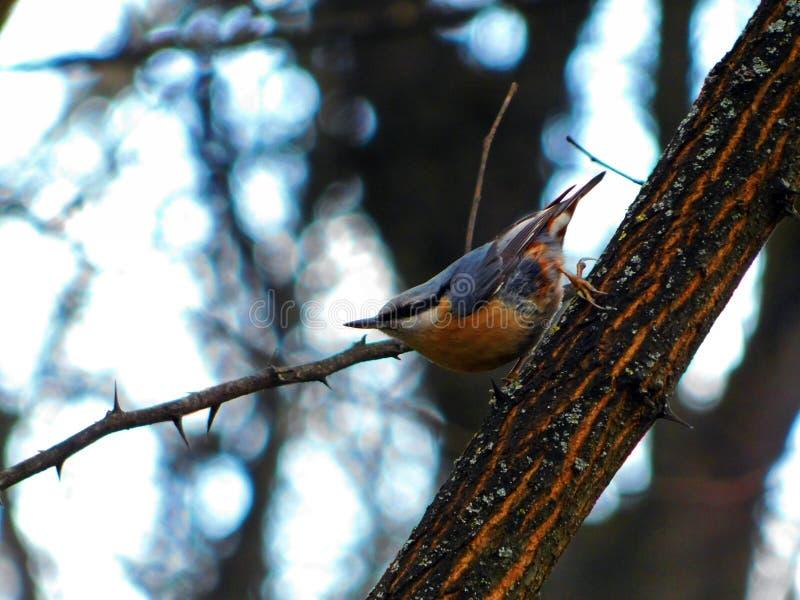 Europaea del Sitta - pájaro hermoso imagenes de archivo