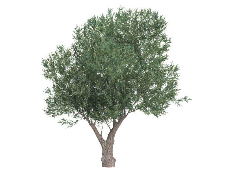 europaea olea oliwka ilustracji