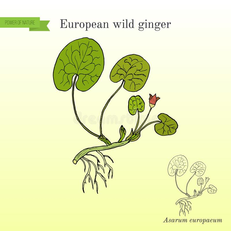 Europaeum europeo del Asarum dello zenzero selvaggio, erba medicinale royalty illustrazione gratis