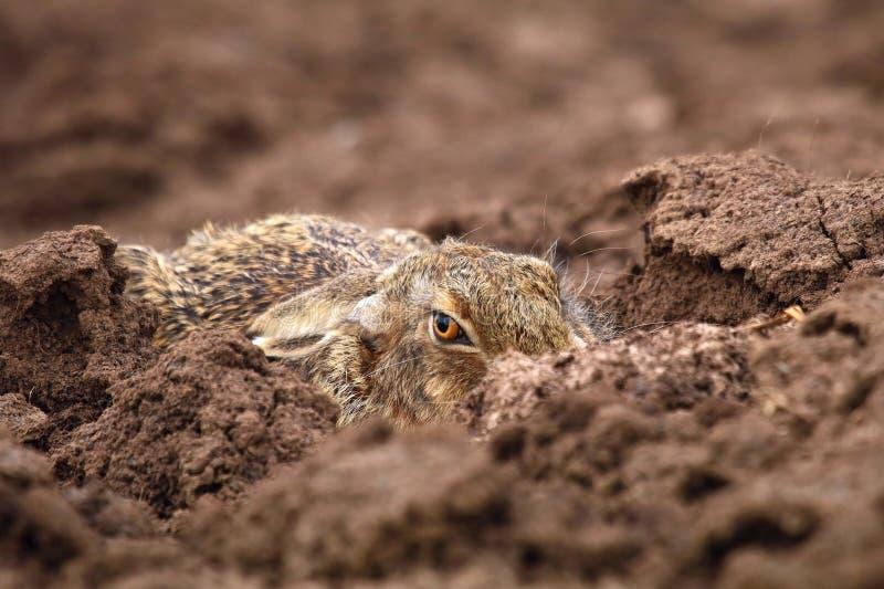 Europaeus adulto del Lepus della lepre nel campo nascosto immagini stock