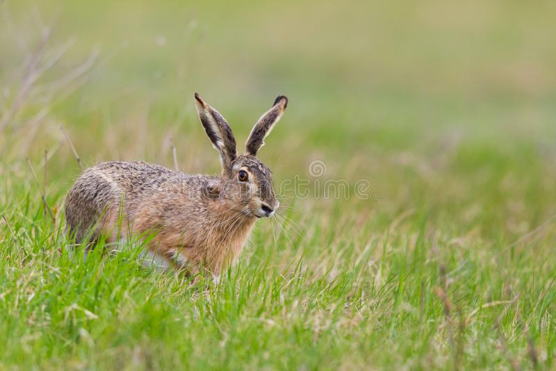Europaeus brun européen de lepus de lièvre de lièvres dans le pré vert image stock