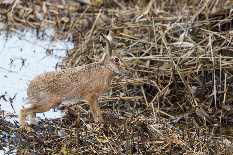 Europaeus brun européen de lepus de lièvre de lièvres en roseau d'hiver, photos stock