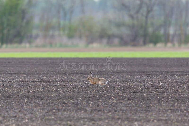 Europaeus brun européen de lepus de lièvre de lièvres se reposant à Âgrâ images stock