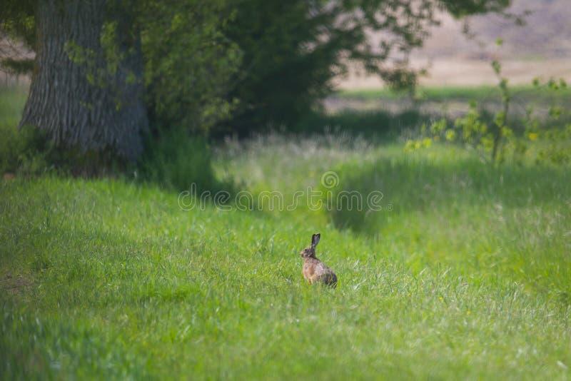 Europaeus brun européen de lepus de lièvre de lièvres se reposant dans le gre photo stock