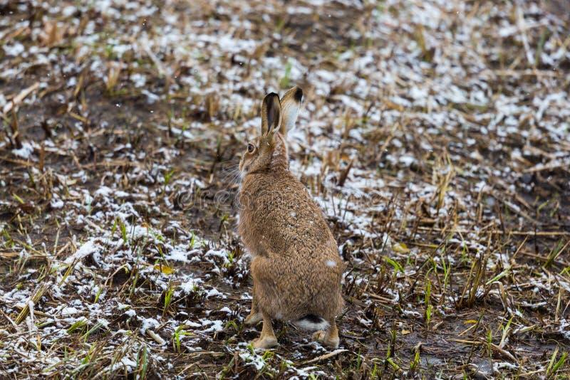 Europaeus brun européen de lepus de lièvre de lièvres de vue arrière dans les WI photographie stock