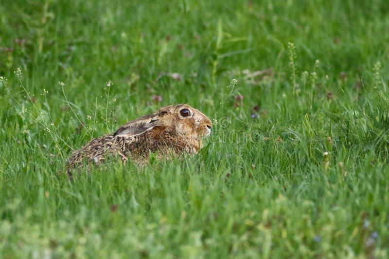 Europaeus del Lepus della lepre di Brown dell'europeo nell'erba fotografie stock libere da diritti