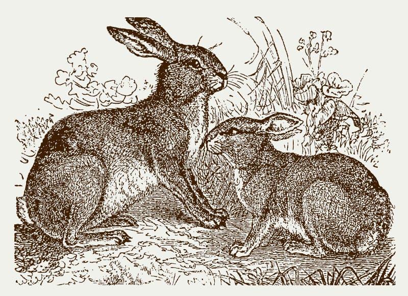 Europaeus do lepus da lebre europeia e cuniculus do oryctolagus do coelho europeu que senta-se em um prado