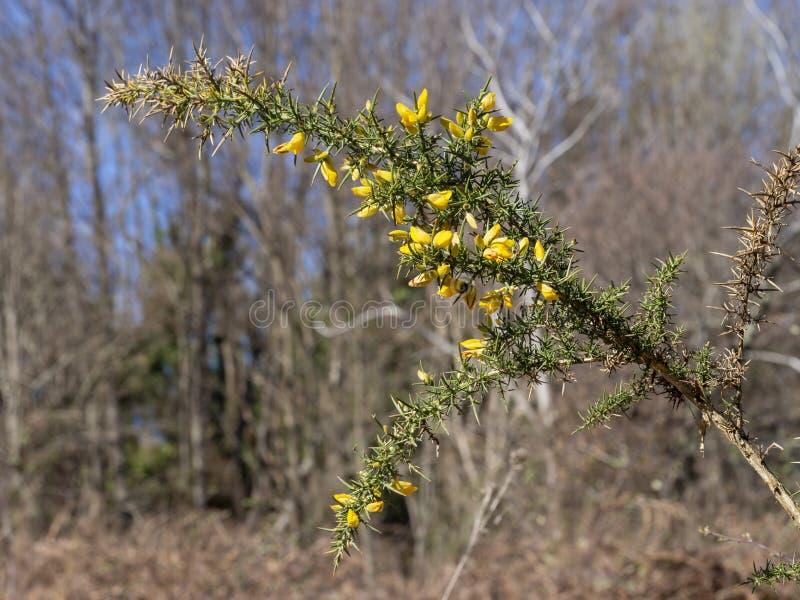 Europaeus en flor, profundidad del Ulex de la aulaga aka del campo estrecha en el ajuste natural Naturaleza en resorte foto de archivo