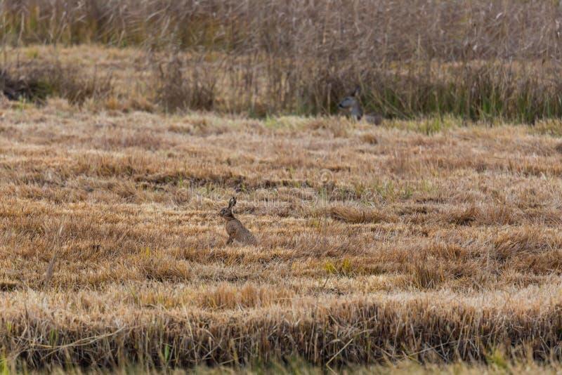 Europaeus et cerfs communs bruns européens de lepus de lièvre de lièvres dans le ree image libre de droits