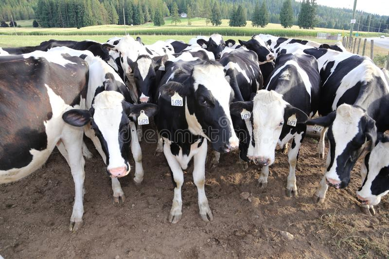 Dairy cows- Denmark and Europe`s famous landmark royalty free stock photo