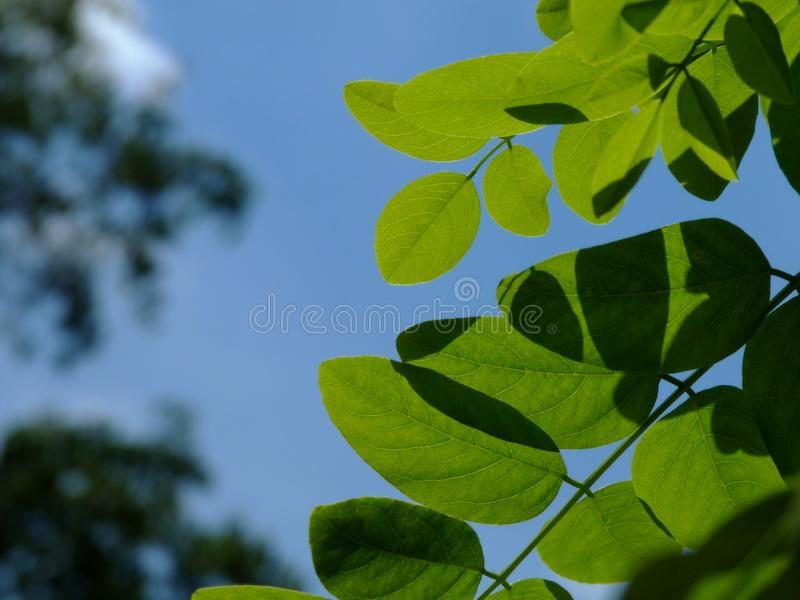 European acatia tree leaves in close up view with blurry blue sky and white cloud royalty free stock image