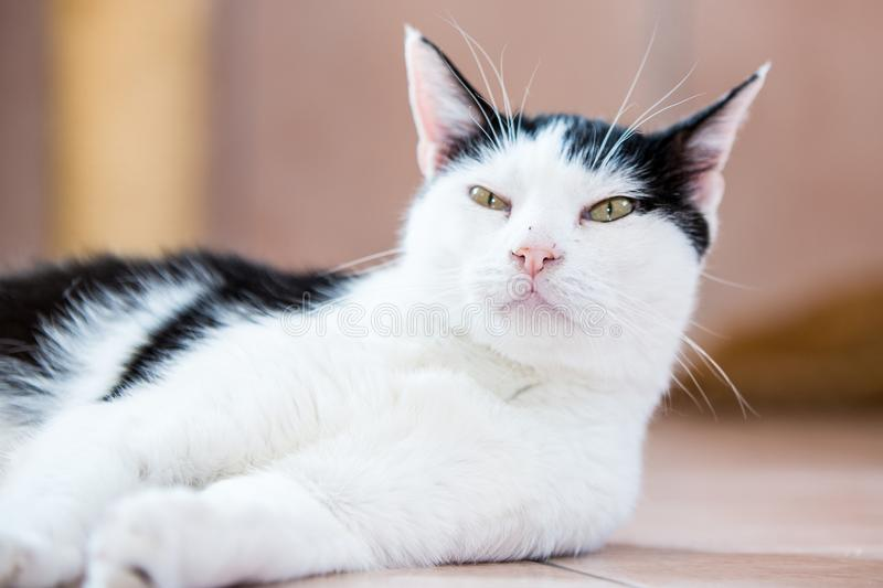 European adult cat. Portrait of european type cat in animal shelter in belgium stock images