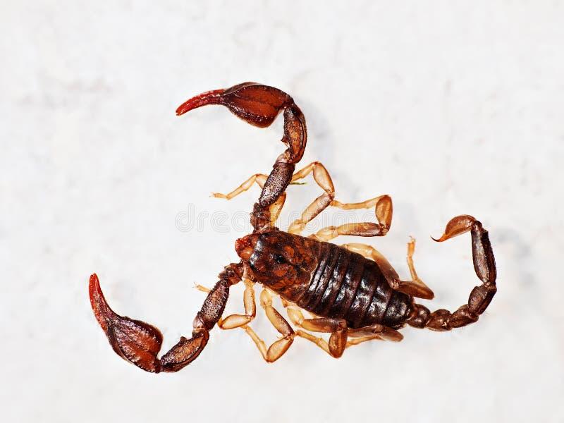 Download European Aka British Scorpion - Macro Stock Image - Image: 20264131