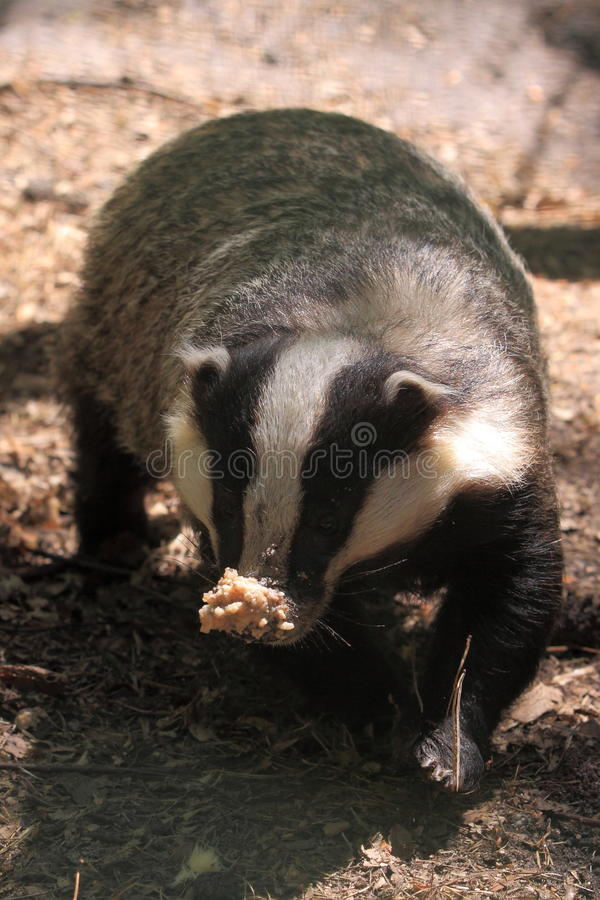 European badger stock images