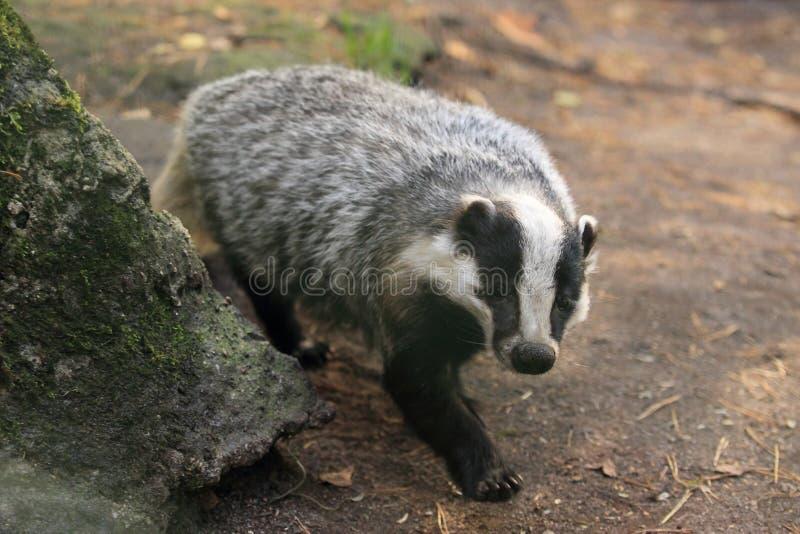 European badger. The approaching adult european badger royalty free stock image