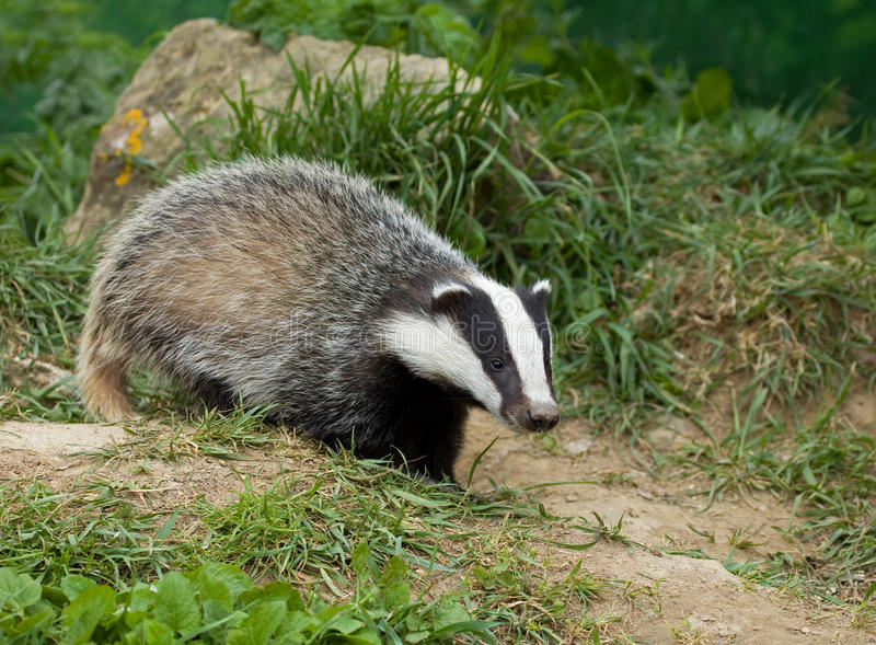 European Badger Cub Royalty Free Stock Image