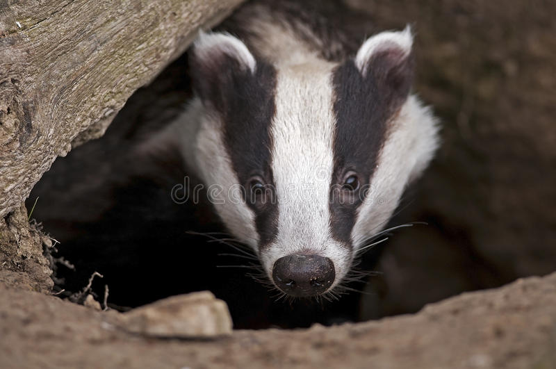 European Badger. Badger emerging from a hole under a tree stock photos