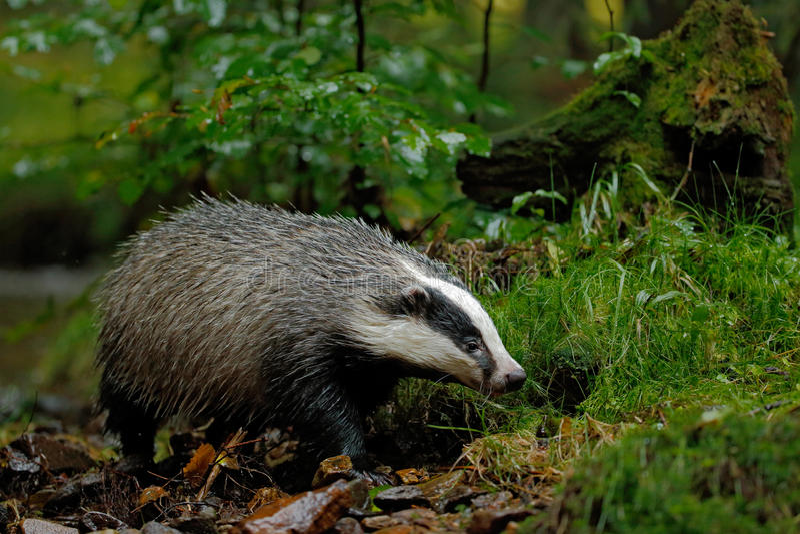 European badger in the forest animal in the nature Habitat deutschland