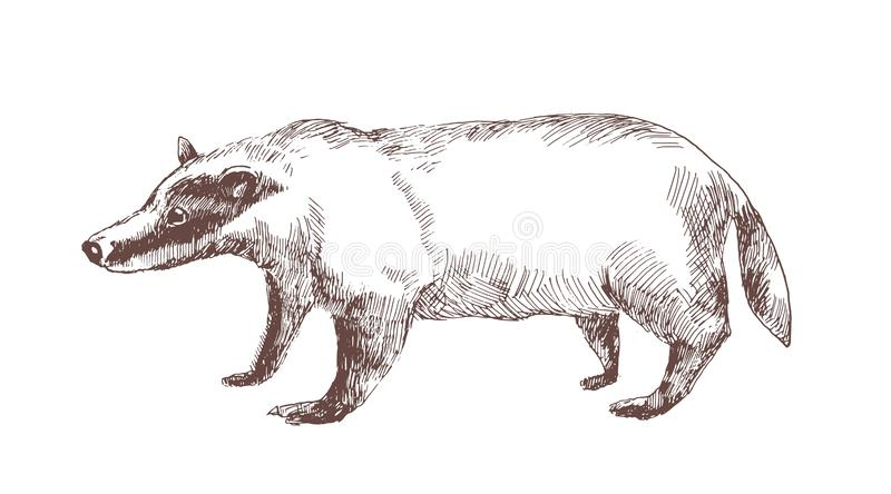 European badger hand drawn with outlines on white background. Elegant sketch drawing of carnivorous wild forest animal royalty free illustration