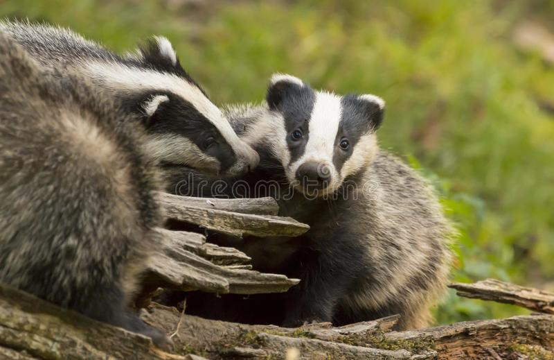 European Badger Meles meles adult with baby royalty free stock photos