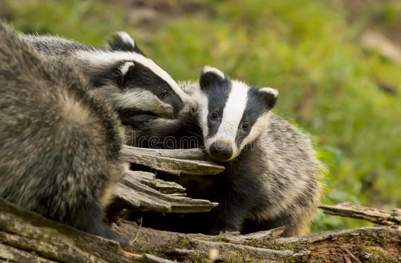 European Badger Meles meles adult with baby royalty free stock photography