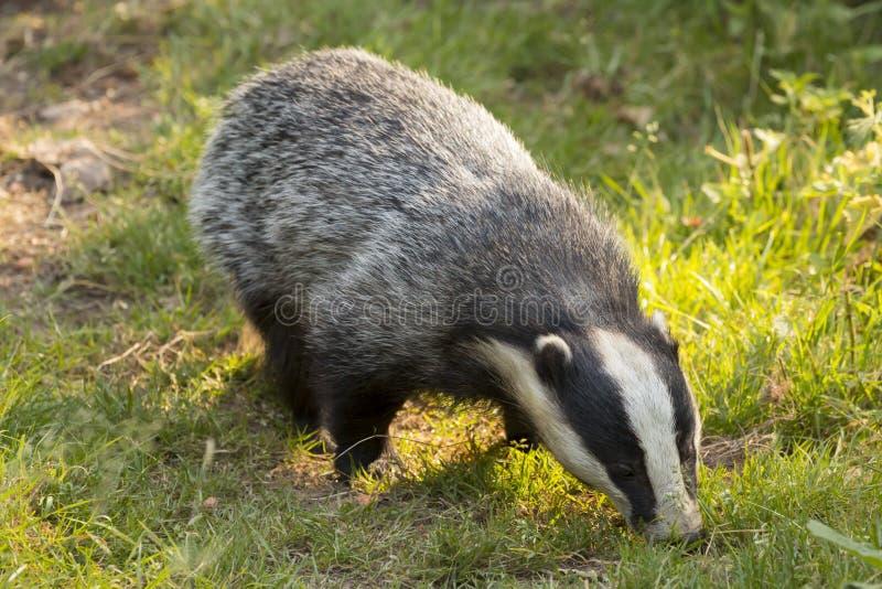 European Badger Meles meles adult royalty free stock photo