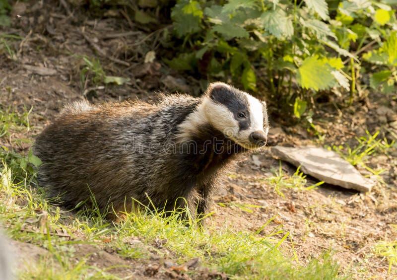European Badger Meles meles adult royalty free stock photos