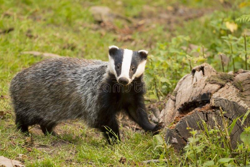 European Badger Meles meles adult stock images