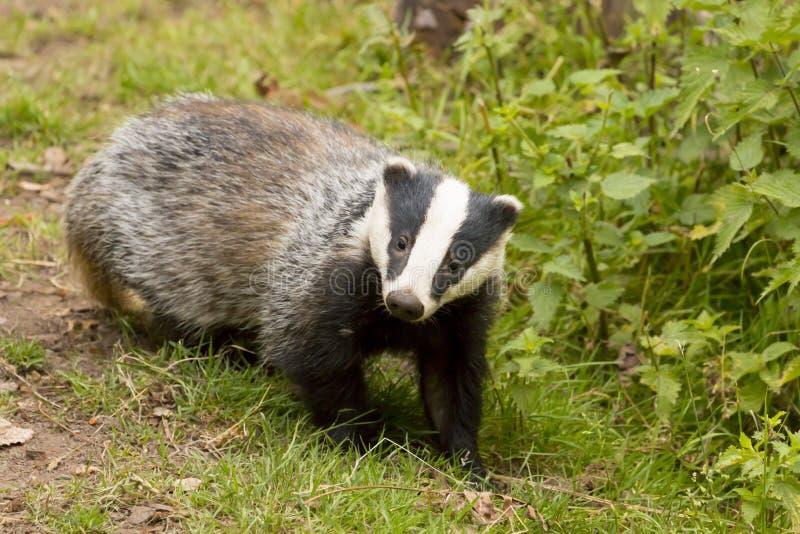European Badger Meles meles adult royalty free stock image