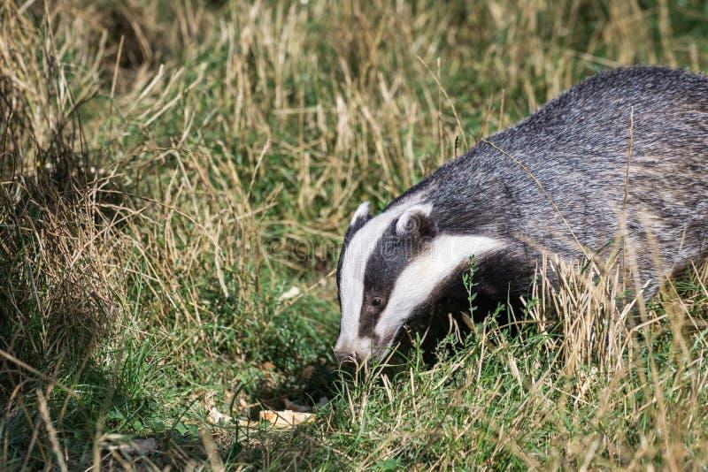 European Badger (Meles meles) royalty free stock photo