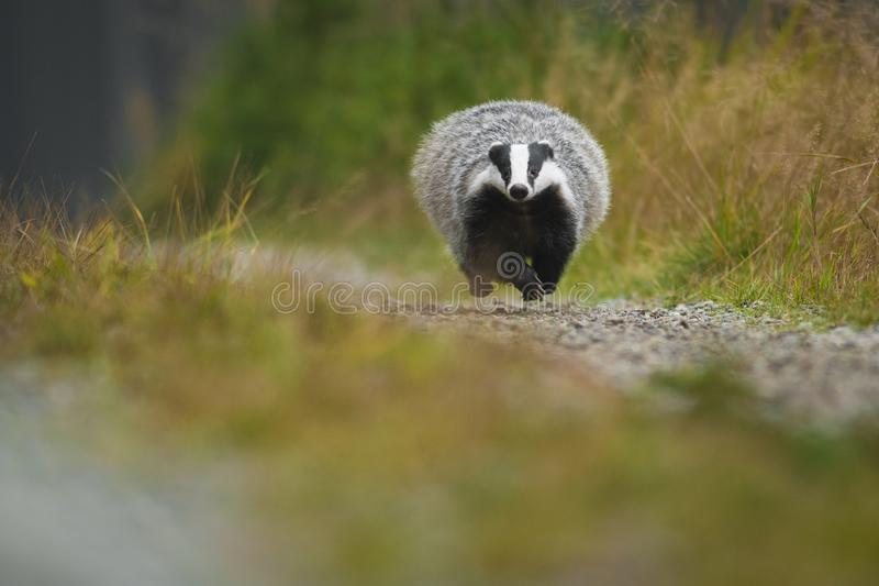 European badger running in a deep forest. Big Black and white mammal in its natural environment. royalty free stock photo