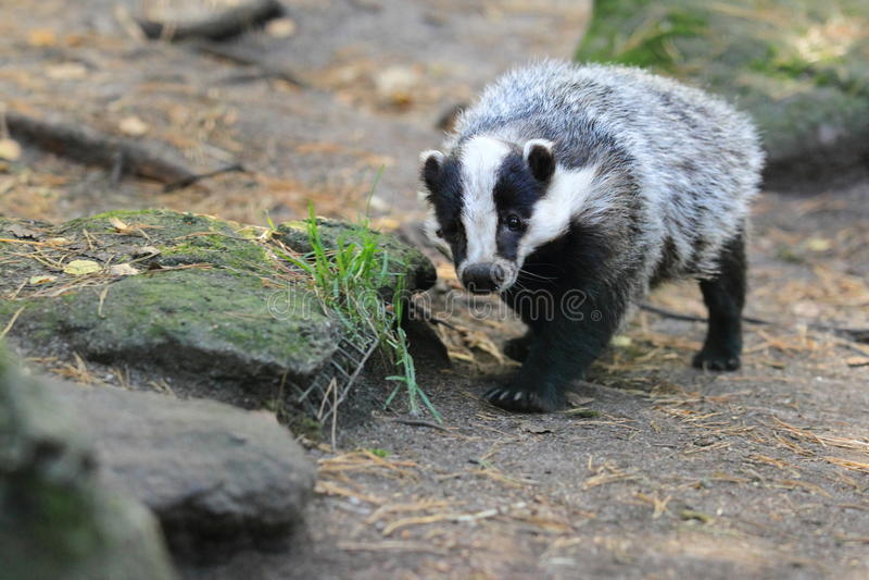 European badger. The european badger in the soil royalty free stock image