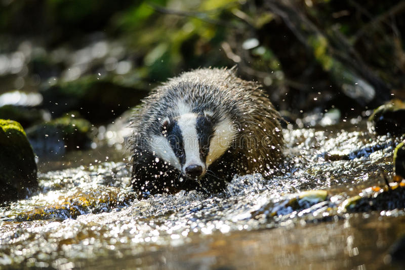 Download European badger stock photo. Image of moss, swim, river - 48956994