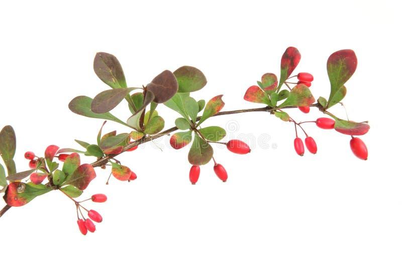 European barberry (Berberis vulgaris). Little twig of barberry (Berberis vulgaris) with ripe fruits, in front of white background stock image