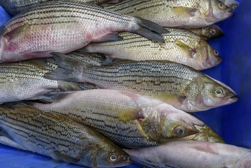 European bass, sea bass is a ocean-going fish. Fresh seafood. European bass, sea bass is a ocean-going fish. Seafood market in Israel. Concept of healthy diet stock photo