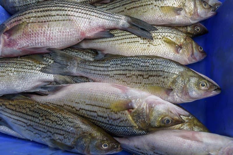 European bass, sea bass is a ocean-going fish. Fresh seafood stock photo