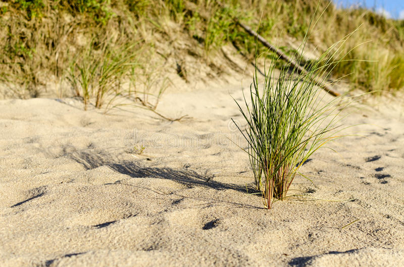 European beachgrass. On the beach of Baltic sea. In the foreground there is European marram grass Ammophila arenaria royalty free stock photos