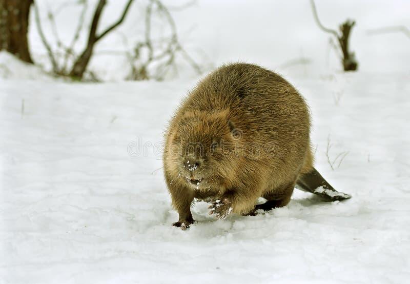 European beaver ( Castor fiber ) stock photo