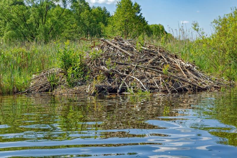 European Beaver Castor fiber lodge royalty free stock photo