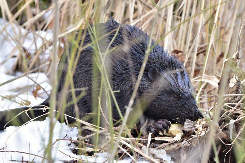 European beaver. Wildlife shot of european beaver,location Otrokovic,Czech republic royalty free stock image