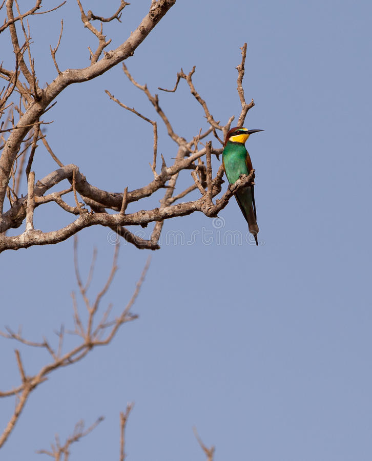 Download European Bee-eater stock image. Image of alone, africa - 25097669