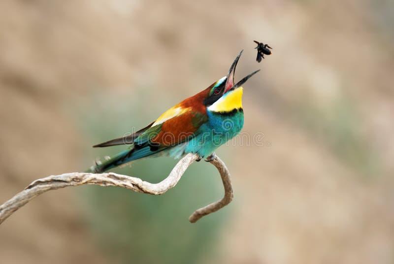 Download European bee eater stock image. Image of wild, birds - 26631011