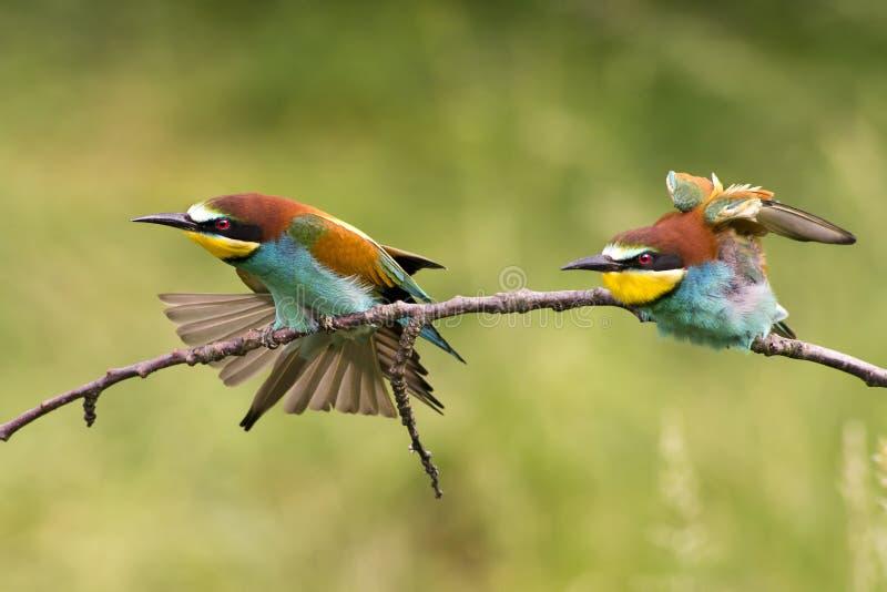 Download European bee-eater stock photo. Image of pair, wild, closeup - 28177728