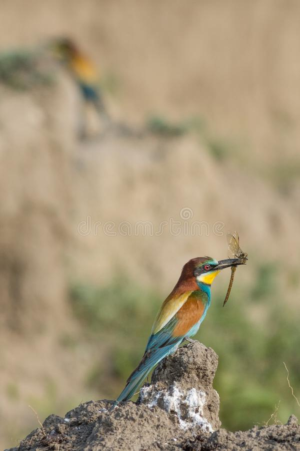 European Bee-eater, beautiful colorful bird sitting on the ground with a dragonfly in it`s beak royalty free stock photo
